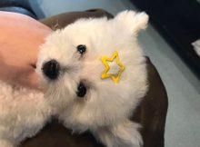 四个月大的可爱小茶杯犬