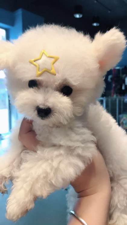 四个月大的可爱小茶杯犬(二)