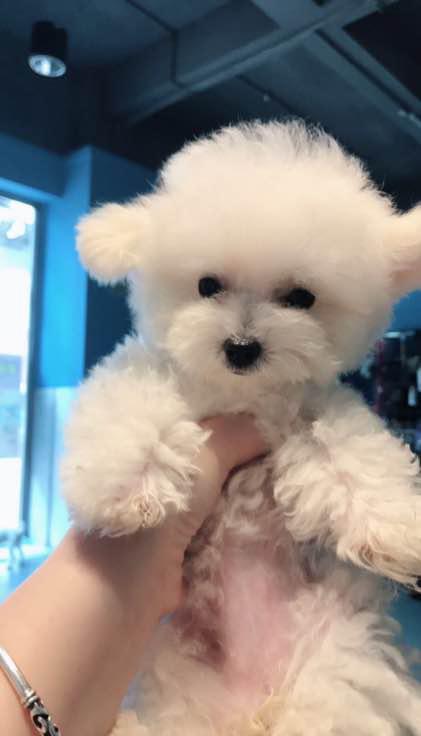 四个月大的可爱小茶杯犬(三)
