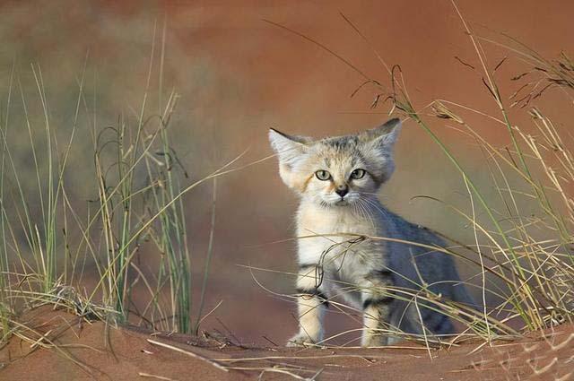 沙丘猫(二)
