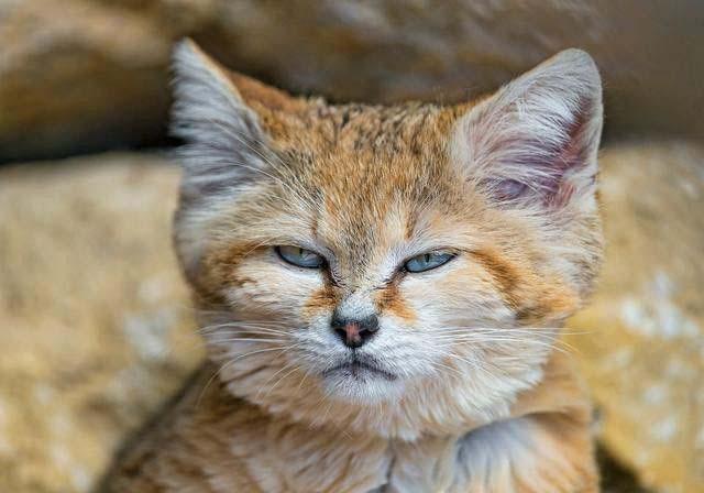 沙丘猫(三)