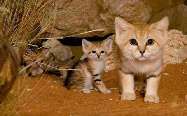 沙丘猫(四)
