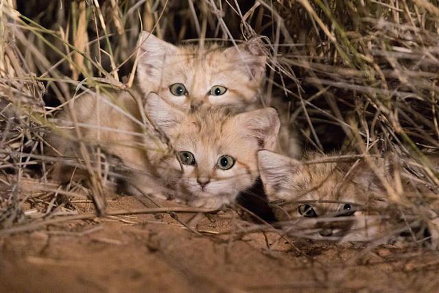 沙丘猫(五)