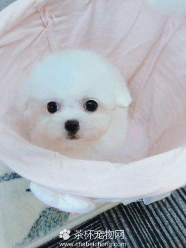 白色茶杯泰迪犬