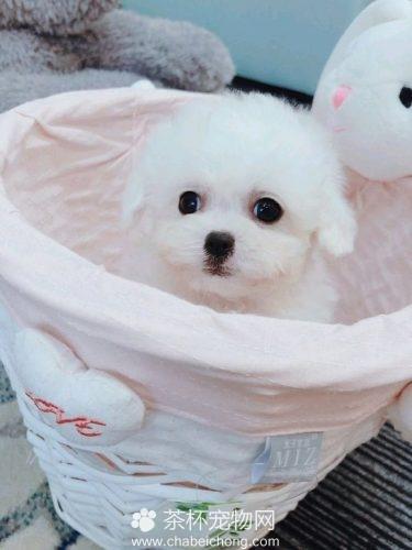 白色茶杯泰迪犬(二)