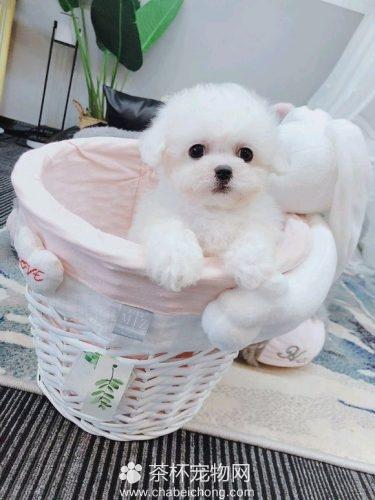 白色茶杯泰迪犬(三)