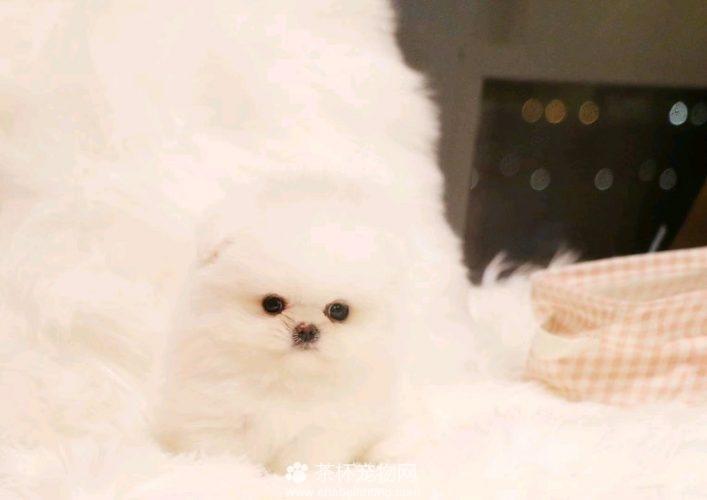 双胞胎博美犬