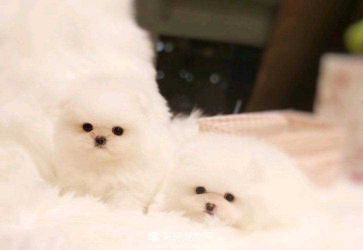 双胞胎博美犬(四)